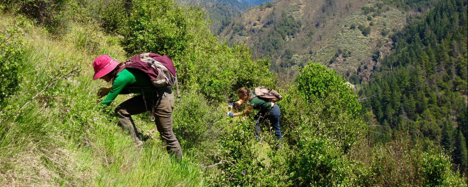 Volunteers for the Salmon River Restoration Council tracking down Italian thistle (Carduus pycnocephalus) plants in Siskiyou County